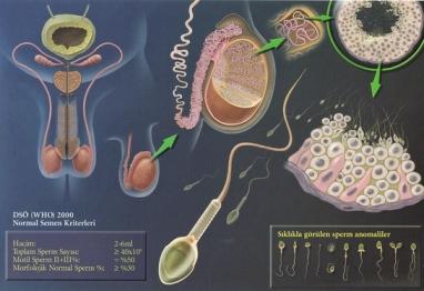 erkek-ureme-organlari2